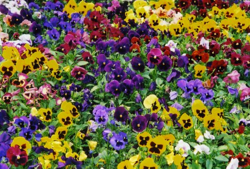 500 Pansy Seeds 600mg- Swiss Giant Mix Flower Seeds bulk Hardy Annual