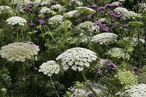 Flower Seeds - Annual Queen Annes Lace - Ammi Majus - Annual - Lilianas Garden