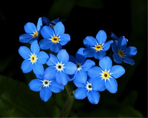 Forget-me-not blue Ball myosotis Alpestris  Flower Plant Seeds Annual Heirloom