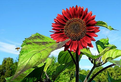 Heirloom 50 Annual Flower Seeds Sunflower -Red Sun Multiple Blooms