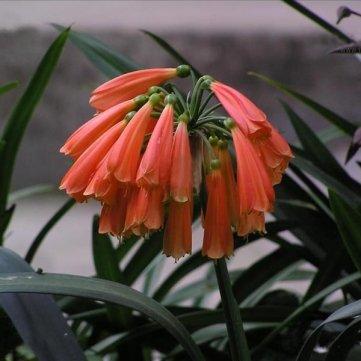 10PCS Clivia nobilis Lindl Seeds Indoor Plant