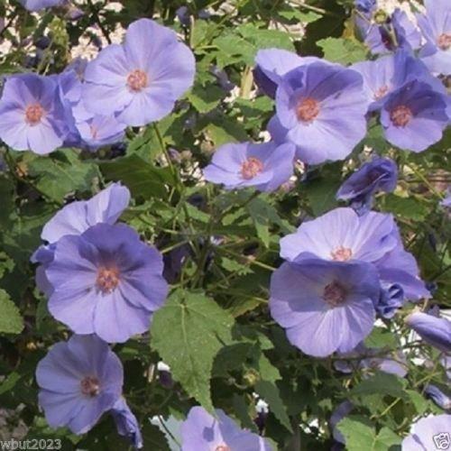 10 Abutilon Seeds-ABUTILON vitifolium Indian MallowFlowering MapleFast Growing
