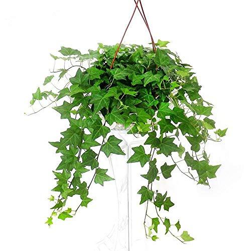 100pcs Green Ivy Plants Seeds Evergreen Fast Growing Seed for Fences Walls Verandas Pergolas and Trellises Plant Tree Garden Home Flower Decor