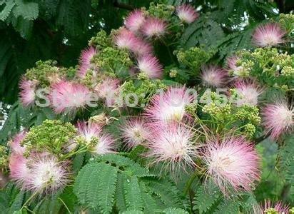 25 pcs Acacia Tree Flower Seeds evergreen bonsai  fast growing bonsai