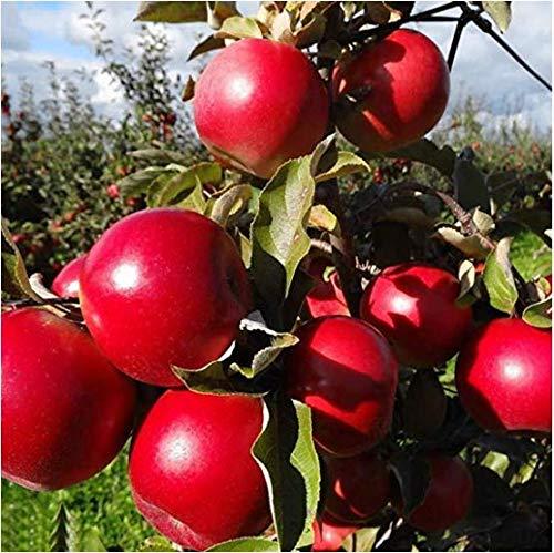 Lioder Apple Seeds Apple Tree Seeds Jewel Apple Tree Open Pollinated Seeds Heavy Fruit Producing Fast Growing