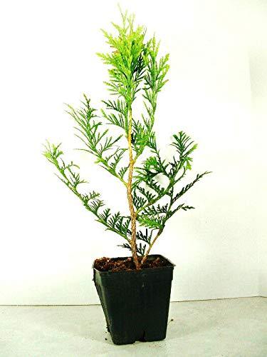 Seeds Green Arborvitae - Thuja plicata - Seeds - Great Fast Growing Seeds