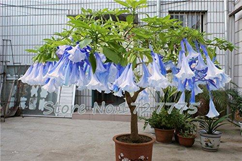 LOSS PROMOTION SALE Bonsai seeds 50pcs DWARF Brugmansia suaveolens Flamenco angels Trumpets Flowers plant seeds