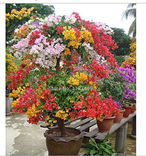 100pcs Mix-color Bougainvillea Spectabilis Willd Seeds Bonsai Flower Plant Seeds Flowers Flower Pot Planters