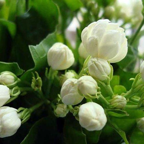 20seedsbag Jasmine seed indoor plants perennial flower seeds