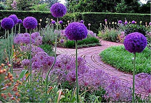 50 Pcsbag Purple Giant Allium Giganteum Beautiful Flower Seeds Garden Plant Gift