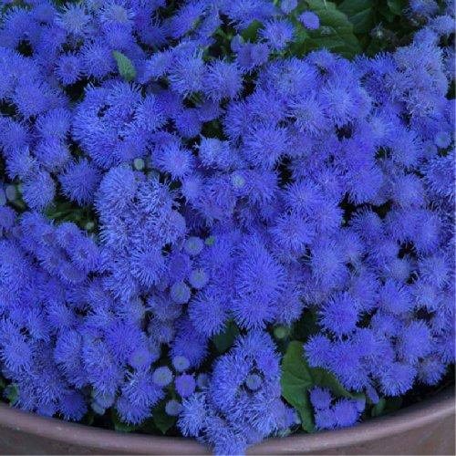 Floss Flower Blue Ball Ageratum Houstonianum Mill Flower Plant Seeds Annual Heirloom