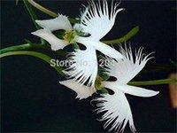 Worlds Rare Flower Japanese Radiata Seeds For Gardenamp Home Planting White Dove Orchids Seeds 50seedsbag