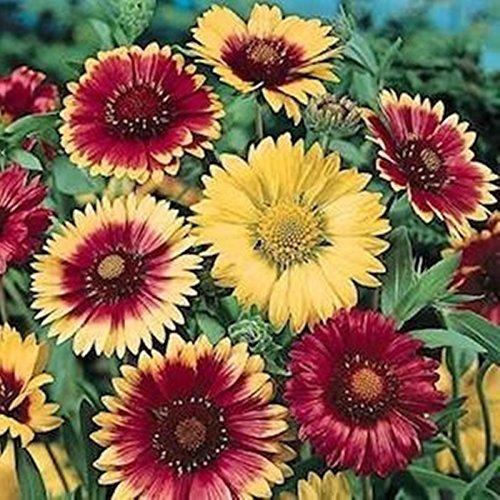 Seeds Blanket Flower-Gaillardia Aristata Organic Russian Garden Flowers Seed