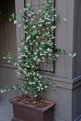 5 Star Jasmine Seeds Rare Tropical Fragrant Flower While Perennial Plant Seeds