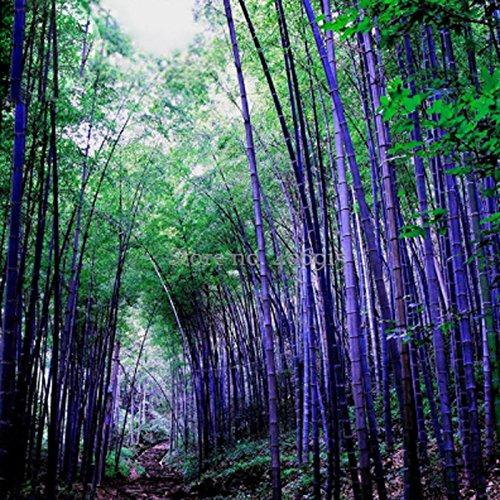 Best Garden Seeds New Rarest Rare Purple Bamboo 50 Seeds beautiful outdoor garden perennial plants seeds light up your garden