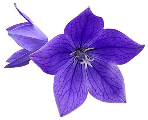 Blue Balloon Flower 50 Seeds - Platycodon Grandiflorus HerbChinese Medicine Flower Garden Blue Sentimental Flower Perennial Garden Bell Plant Seed Pack