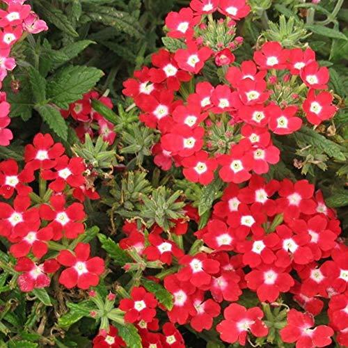 Escolourful 100PCS Farm Rare Verbena Hybrida Voss Perennial Plant Seeds Balcony Potted Flower Seeds for Garden Planting