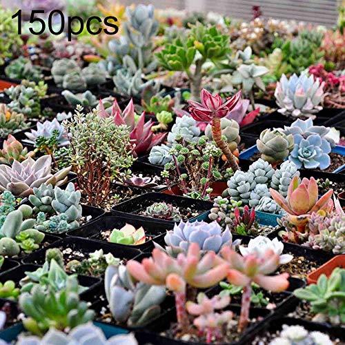 Maserfaliw Succulent Seed 150Pcs Rare Succulent Perennial Plant Seed Home Garden Balcony Bonsai Decor Succulent Seed
