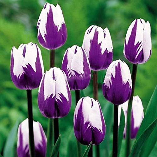 Mifutu Seed Sand Plants- New Bonsai Perennial Plant Tulip Seeds Flower Plants Seeds Flowers