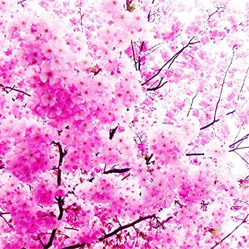 Rare Japanese Pink Cherry Blossom Sakura Tree 10pcs seeds Oriental Sweet Prunus Flower Seeds for home&garden perennial plant