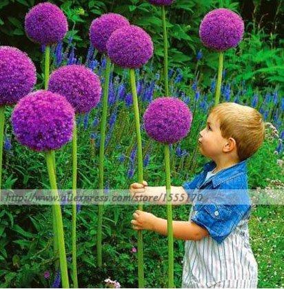100 Pcsbag Purple Giant Allium Giganteum Beautiful Flower Seeds Garden Plant Gift