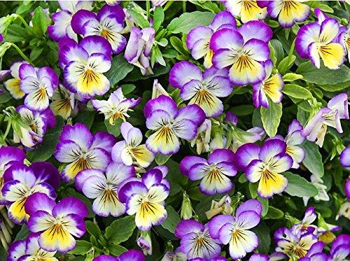 100 Viola Johnny Jump-up Flower Seeds Heartsease Purple-yellow Blooms Heavily Self-seeding Biennial Beautiful
