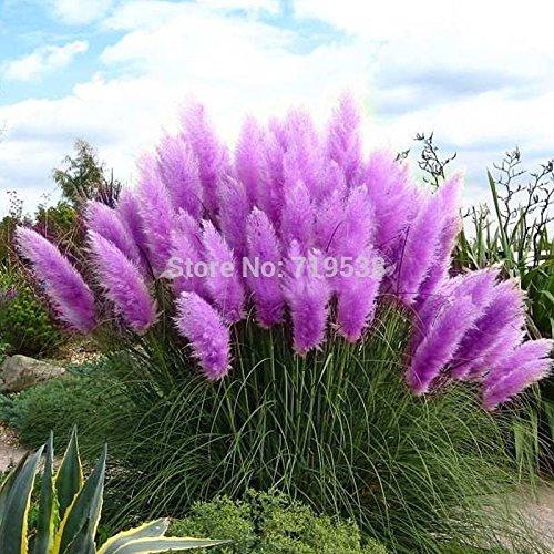 Beautiful Flowers seed Rare Purple Pampas Grass Garden plant Flowers Cortaderia Selloana Flower seeds20pcs