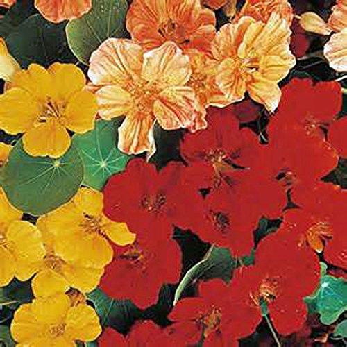 Nasturtium Whirly Bird Mix Seeds 500 Seeds Organic Newly Harvested-beautiful Flower