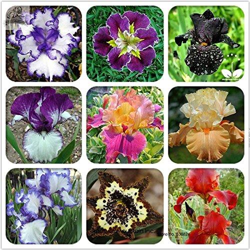 Rare Heirloom Iris Tectorum Perennial Flower Seeds Professional Pack 20 Seeds  Pack Very Beautiful Flowers
