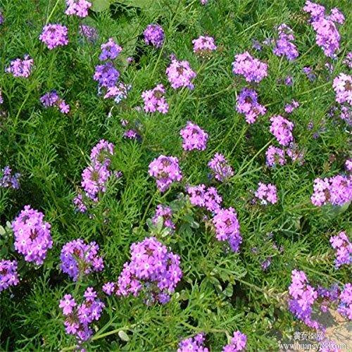 50pcs Verbena Seeds indoor plants flowers Garden Heirloom Seeds Bonsai Plants Seeds B036