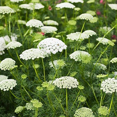 Bishops Flower Seeds Packet