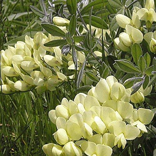 Everwilde Farms - 10 Cream Wild Indigo Native Wildflower Seeds - Gold Vault Jumbo Seed Packet