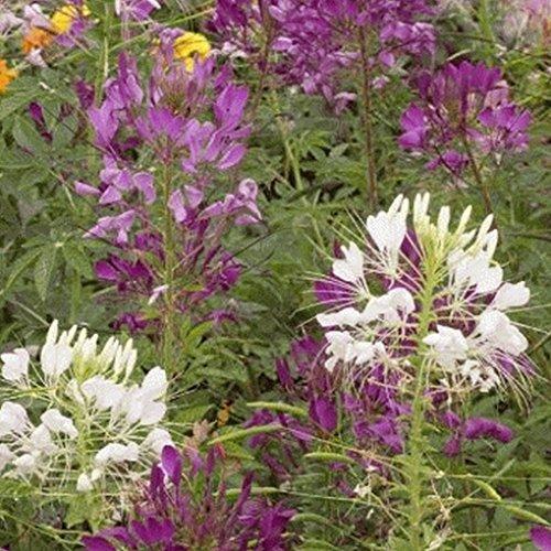 Everwilde Farms - 500 Spider Plant Wildflower Seeds - Gold Vault Jumbo Seed Packet