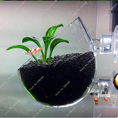 Brand New Plant seed Glossostigma elatinoides similar Hemianthus callitrichoides aquarium fish tank easy plant