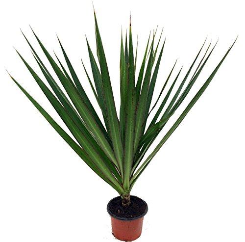 Madagascar Dragon Tree - Dracaena Marginata - 4&quot Pot - Easy To Grow House Plant