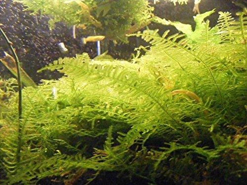 Christmas Moss Vesicular Montagnej Live Aquarium Plant 2x2