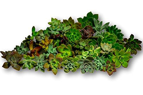 Fat Plants San Diego 45 Gorgeous All Rosette Succulent Cuttings