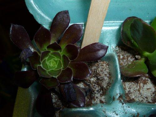 Succulent Terrarium Fairy Garden Plants - 5 Different Plants in 2 Pots