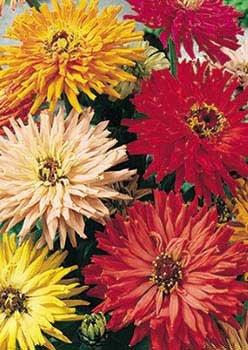 Davids Garden Seeds Flower Zinnia Cactus Flowered Mix Heat Tolerant D3651 multi Color 1000 Open Pollinated