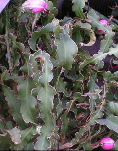 Epiphyllum curly locks rare hanging cacti flowering cactus flower seed 50 SEEDS
