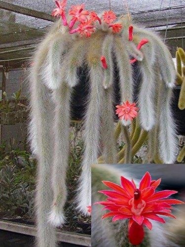 Hildewintera Colademononis  Stunning Monkey Tail Cactus  Red Flowers 10 Seeds