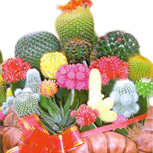 juliascats 1 Bag 10 Seeds Mixture Of Cactus Flower Color Plant