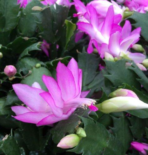 Pink Christmas Cactus Plant - Zygocactus - 4 Pot
