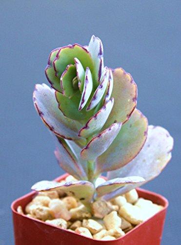 Kalanchoe Fedtschenkoi Exotic Rare Succulent Plant Cacti Cactus Bonsai Outdoor Agave 2