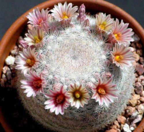 Mammillaria candida J rare cactus cacti seed 20 SEEDS