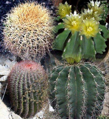 Mixed Barrel Cactus 20 Seeds - Ferocactus