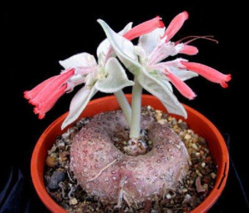 Sinningia leucotricha Rechsteineria rare cactus cacti caudex plant seed 30 SEEDS