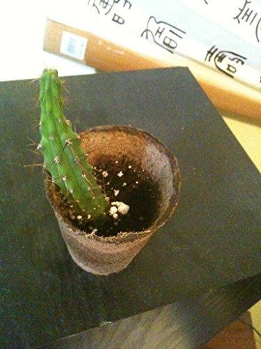 20 Trichocereus Bridgesii Seeds  Cactus san Pedro Cousin