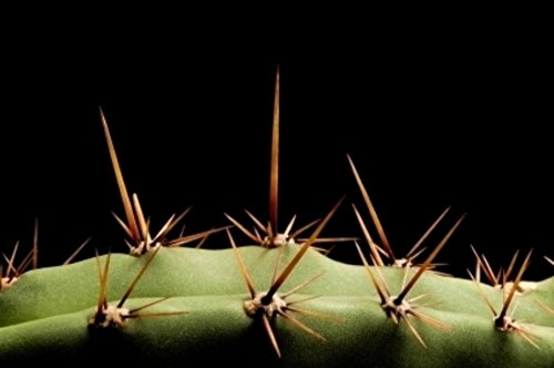 40 San Pedro Cactus Seeds Trichocereus pachanoi Ornamental Plant