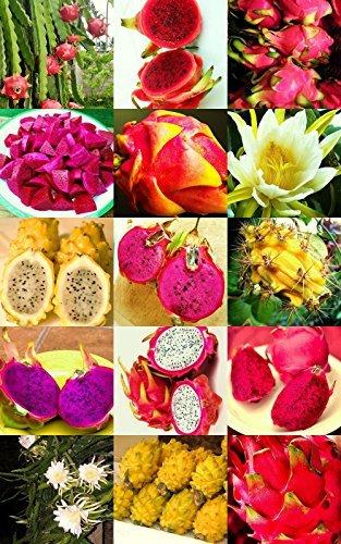 Dragon Fruit Mix Edible Fruits Hylocereus Undatus Fragrant Cactus Seed 50 Seeds
